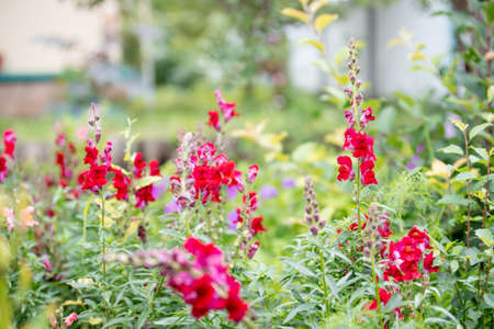 Red antirrhinum in the garden on a clear summer day. Rural garden.