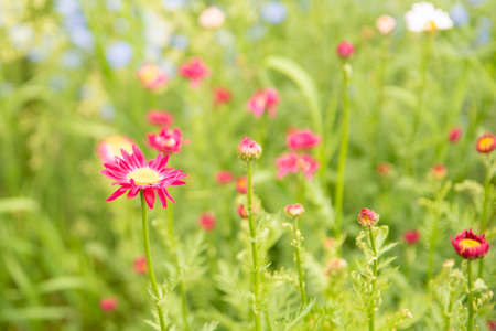 Red pyrethrum flowers in a sunny bright summer garden. Close up.