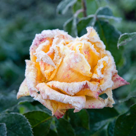 Yellow rose covered with frost after the first autumn frosts. Resistance of roses and plants to the tests of nature. Yellow rose on green nature background. Reklamní fotografie