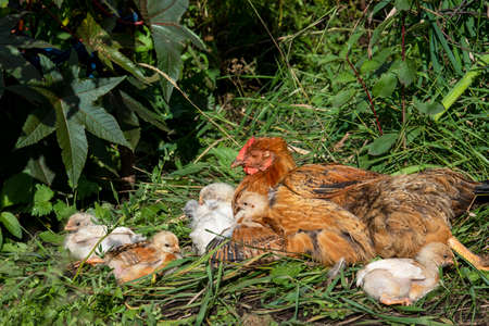 Hen With Chicks in garden with grass. Rural.