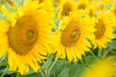 Yellow sunflowers during flowering and bees collecting nectar on a clear Sunny summer day. Pollination of plants. Reklamní fotografie