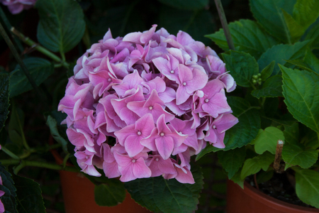 Hydrangea plant blossoming with light pink flowers in a greenhouse garden Stock Photo
