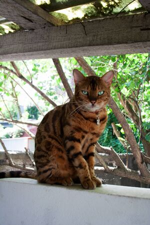 Bengal cat sitting in the backyard garden on a summer day Stockfoto