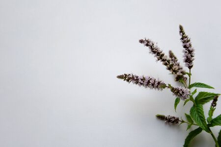 Mint herb sprout detail with light purple flowers isolated on white background with a copy space