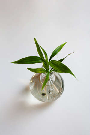 Dracaena sanderiana, also known as lucky bamboo plant in glass bottle isolated on white background