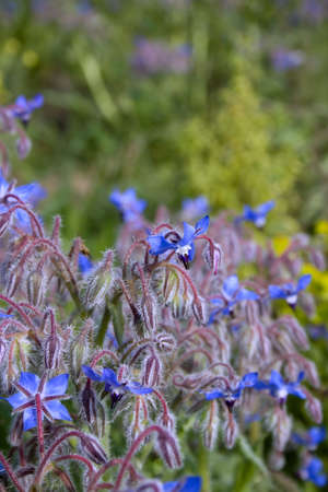 herbalist: A field of blue, star flowered borage is a herbalist bonanza. Its tasty, healty and has many medicinal uses. Stock Photo
