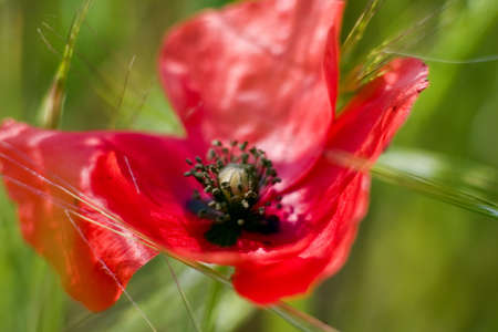 This was my attempt to catch both the poppy and grass in motion with some focus on both and without blowout. Each of these abstracts were shot using old glass without the benefit of TTL metering. photo