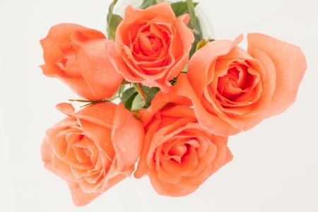 rosas naranjas: cinco rosas de color naranja sobre el fondo blanco