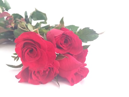 rosas rojas: Rosas rojas en el fondo blanco