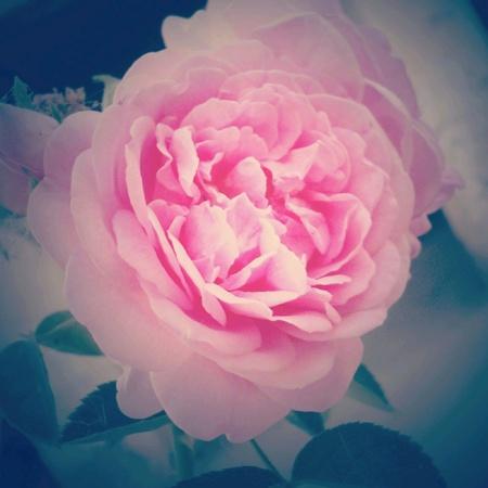 pink rose: Pink rose