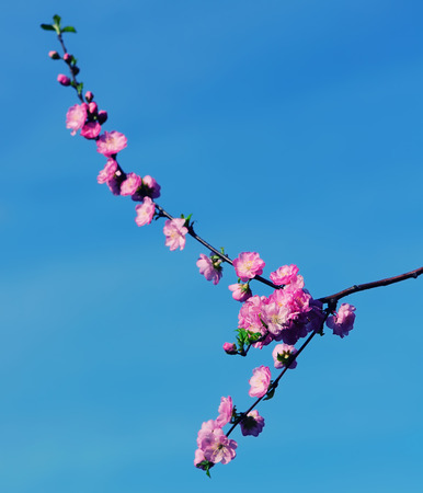 tender tenderness: spring is coming, Gorgeous pink sakura  close up