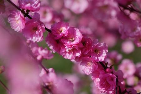 tender tenderness: Sakura blooming.