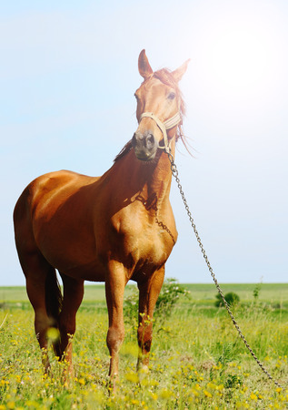 akhal teke: sunshine portraiit of a brown horse standing in field alone, summertime Stock Photo