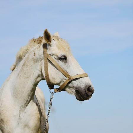 buckskin horse: white horse on a sky backgorund