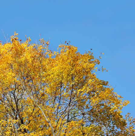 against: autumnal maple against blue sky Stock Photo