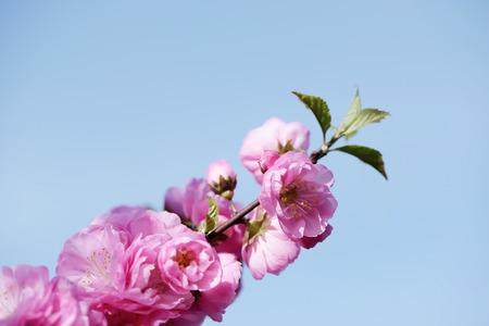 tender tenderness: japanese cherry blossom against blue sky, sakura, close up