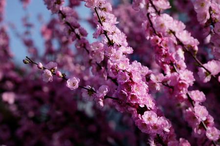 tender tenderness: Blooming of sakura, spring is coming.