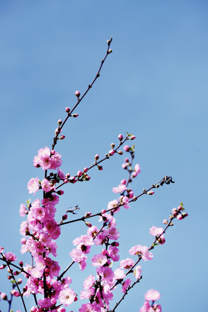 tender tenderness: Pink cherry  japanese blossom on a blue sky background Stock Photo