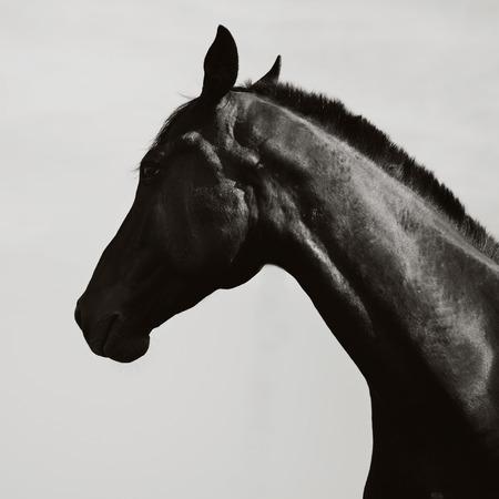 buckskin horse: dark horse on a sky background