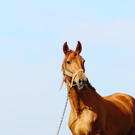 akhal teke: brown horse standing in field alone, summertime