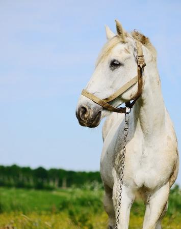 buckskin horse: white horse in field alone