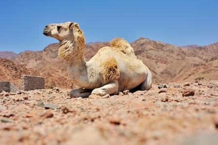musandam: Camels at Sinai mountains, Egypt Stock Photo