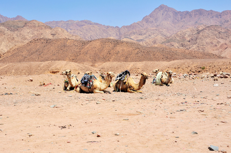 musandam: group of camels at Sinai mountains, Egypt
