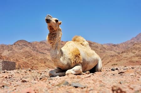 musandam: camel at Sinai mountains, Egypt