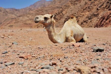 musandam: blurred camel at Sinai mountains, Egypt