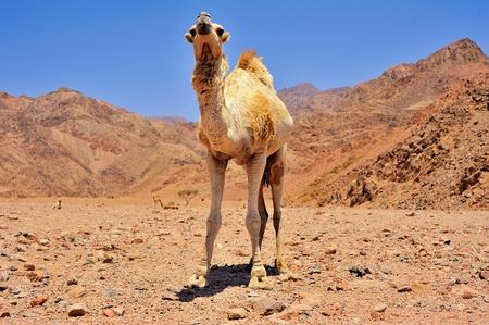 musandam: big camel at Sinai mountains, Egypt Stock Photo