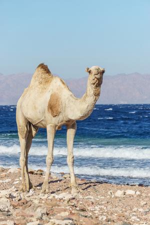 sinai desert: African landscape with camel at Red Sea side, Dahab, Sinai, Egypt.
