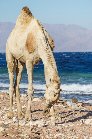 African landscape with camel at Red Sea side, Dahab, Sinai, Egypt.