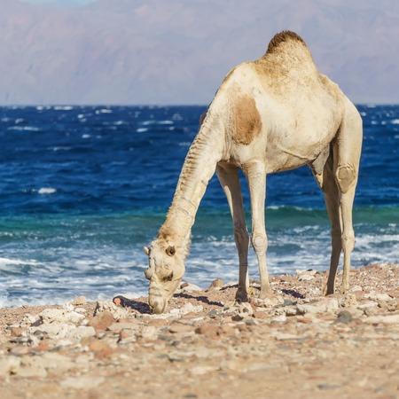 monte sinai: Paisaje africano con el camello al lado del Mar Rojo, Dahab, Sinaí, Egipto.