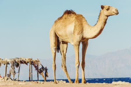 monte sinai: Desert landscape with camel at Red Sea side, Dahab, Sinai, Egypt.