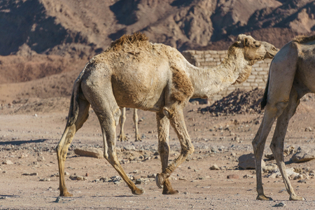musandam: group of camels at Sinai mountains, Egypt