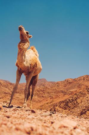 musandam: Camel at Sinai mountains, Egypt Stock Photo