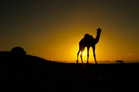 Camel standing in a backlit of a rising sun in Dahab, Egypt.