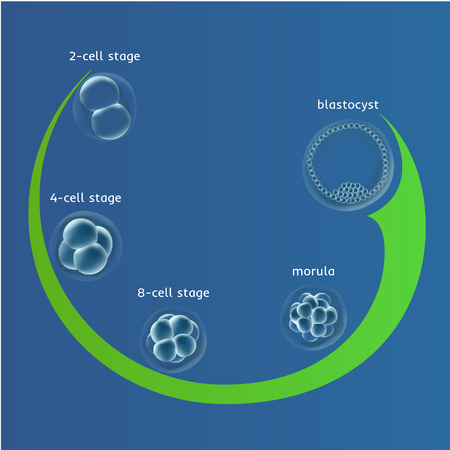 developmental biology: Embryogenesis embryo genesis in vitro IVF , the egg ovum , reproduction in humans illustration for an article, site or typography magazine, brochure, flyer, poster, blue Illustration