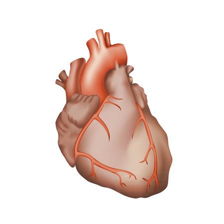 myocardium: Human heart. Anatomy illustration. Red image, white background