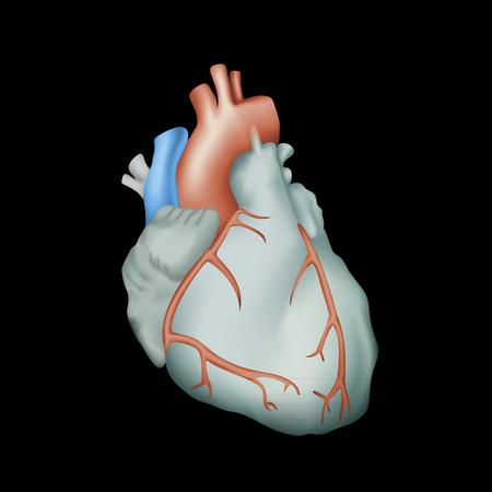 left atrium: Human heart. Anatomy illustration. Colorful image, black background