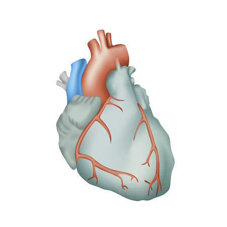 Human heart. Anatomy illustration. Colorful image, white background