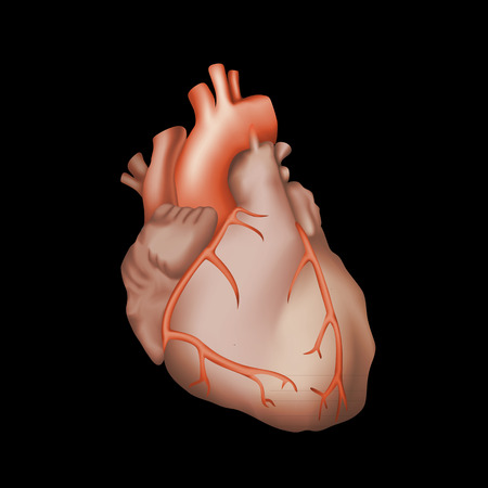 left ventricle: Human heart. Anatomy illustration. Red image, black background