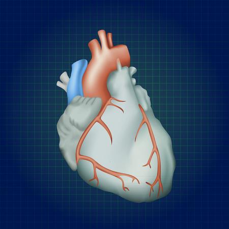 myocardium: Human heart. Anatomy illustration. Colorful image, dark blue science background