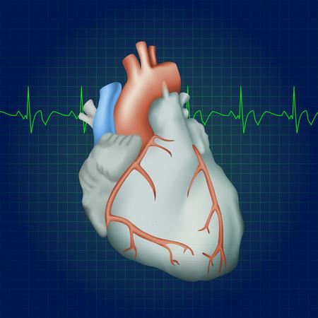 myocardium: Human heart. Anatomy illustration. Colorful image, dark blue science background. Heartbeat