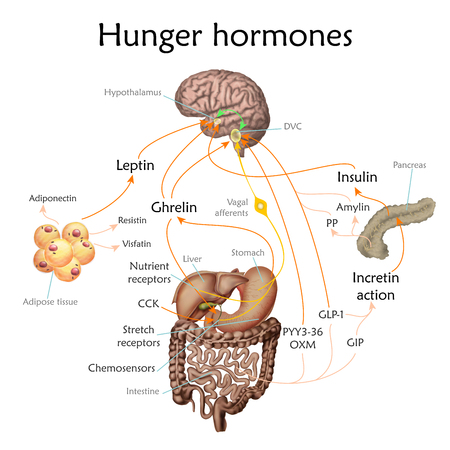 Appetite and hunger hormones vector diagram illustration. Illustration