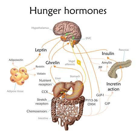 Ilustración de diagrama de vector de hormonas del hambre y el apetito.