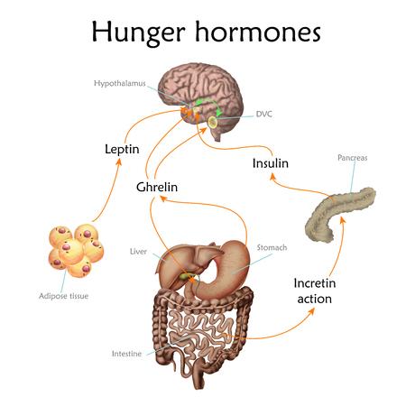 Appetite and hunger hormones vector diagram illustration. Stock Illustratie