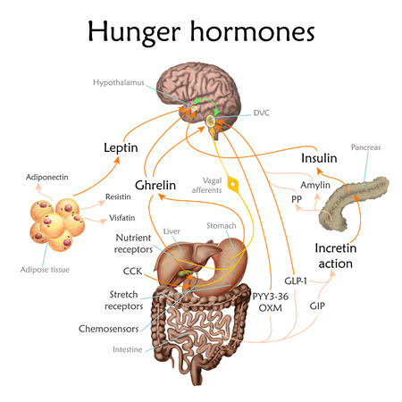 Appetite and hunger hormones vector diagram illustration. Banco de Imagens