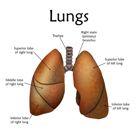 Human lungs with a description. Anatomy realistic vector illustration. White background. Stok Fotoğraf