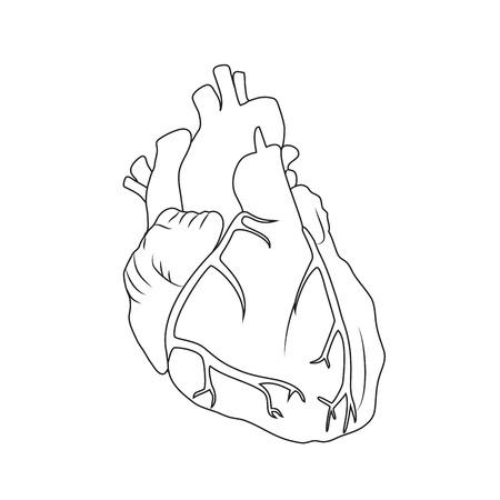 Human heart. Anatomy flat illustration. Outline image, white background. Illustration